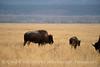 Bison, Grand Teton NP WY (87)