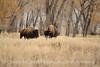 Bison, Grand Teton NP WY (80)