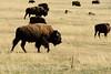 Bison, Grand Teton NP WY (40)