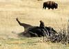 Bison, Grand Teton NP WY (24)