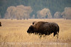 Bison, Grand Teton NP WY (86)