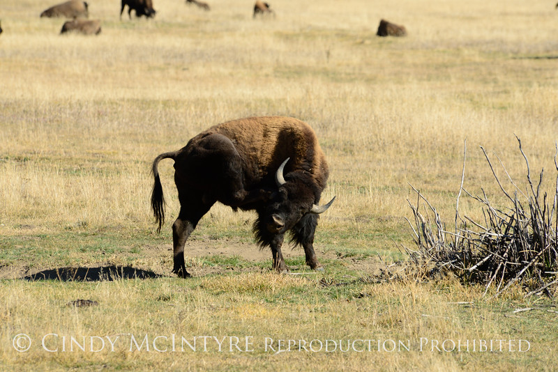 Bison, Grand Teton NP WY (32)