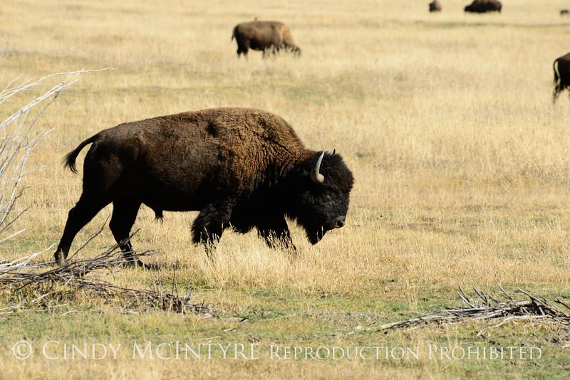 Bison, Grand Teton NP WY (28)