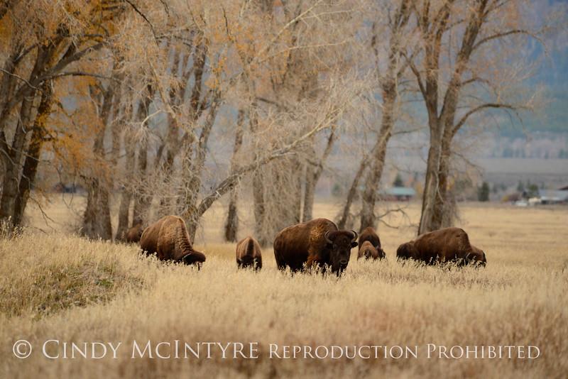 Bison, Grand Teton NP WY (46)