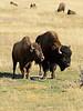 Bison, Grand Teton NP WY (19)