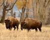 Bison, Grand Teton NP WY (65)