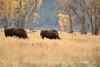Bison, Grand Teton NP WY (89)