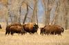 Bison, Grand Teton NP WY (62)