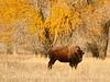 Bison, Grand Teton NP WY (56)