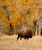 Bison, Grand Teton NP WY (57)