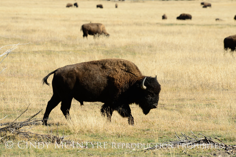 Bison, Grand Teton NP WY (29)
