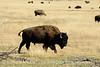 Bison, Grand Teton NP WY (29)