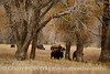 Bison, Grand Teton NP WY (49)