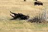 Bison, Grand Teton NP WY (26)