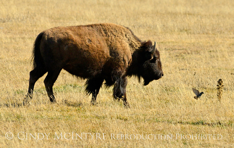 Bison, Grand Teton NP WY (6)