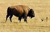 Bison, Grand Teton NP WY (6)