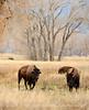 Bison, Grand Teton NP WY (79)