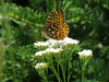 Northwestern Fritillary (maybe?)