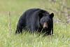 Mama Bear Stare Down-1