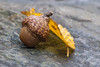 Acorn And Fall Leaf