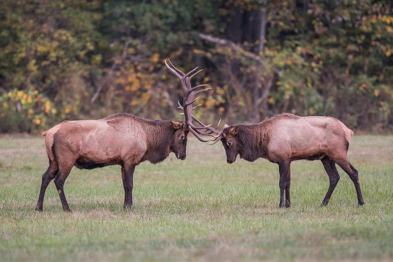 Elk At Oconaluftee