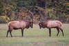 Elk At Oconaluftee