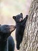 Mama Bear Watching Baby Bear Climb Tree