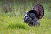 Gobbler Strutting in Spring-1