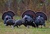Turkey Flock
