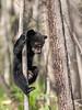 Baby Bear Learning To Climb Trees