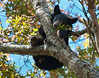Bear in a Tree - This is my favorite shot that I took at the Smoky mountains. How often do you get to see a bear looking straight down at you in a tree with fall leaves against a blue sky?