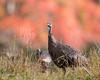 Turkey At Cades Cove