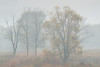 Foggy Trees At Cade's Cove