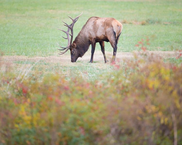 Bull Elk in Autumn