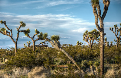 joshua-trees-national-park