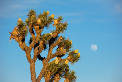 joshua-tree-full-moon-3