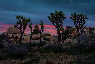 pink-joshua-tree-sunrise