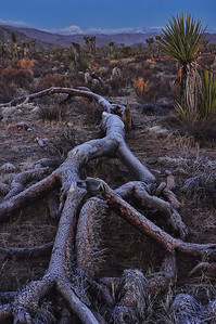 joshua-tree-frosty-log