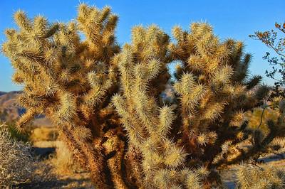 cholla-cactus-3
