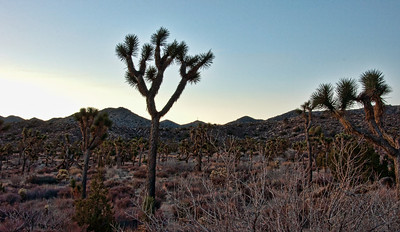 joshua-tree-forest-1
