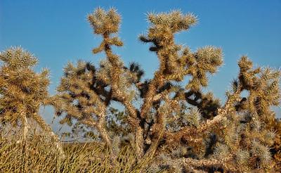 cholla-cactus-2
