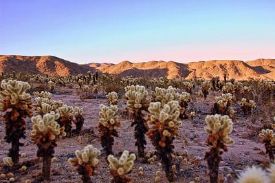 desert-cholla-cactus-5