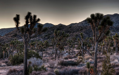 joshua-tree-forest-1-2