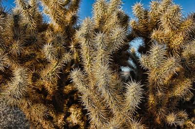 desert-cholla-cactus-3