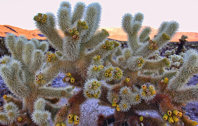 cholla-cactus-flowers