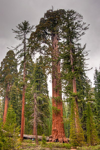 sequoia-trees