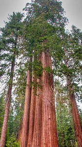 sequoia-trees-3