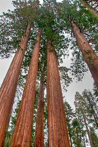 sequoia-trees-4