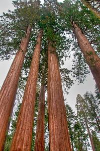 sequoia-trees-4