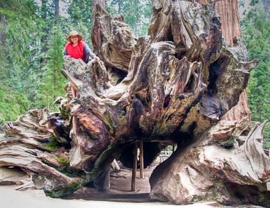 sequoia-burl-kid